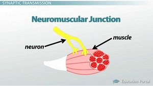 The Neuromuscular Junction: Function, Structure & Physiology ...
