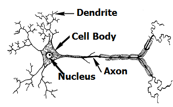 Neurons Lesson for Kids | Study.com