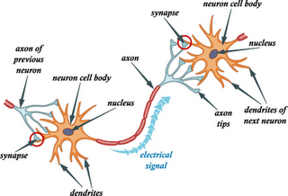 Synaptic Cleft: Definition & Function - Video & Lesson Transcript ...