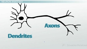 The structure and function of neurons video lesson transcript dendrites and axons ccuart Choice Image
