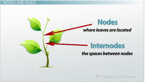 Nodes and Internodes