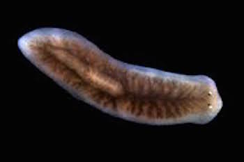 Platyhelminthes flatworm
