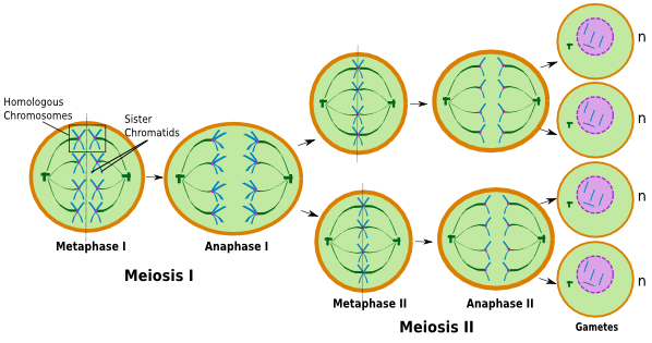 Nondisjunction In Meiosis Definition Examples Video Lesson