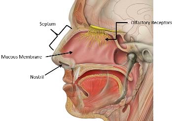Nose Lesson for Kids: Facts & Parts | Study.com