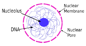 function of nucleus – applecool, Human Body