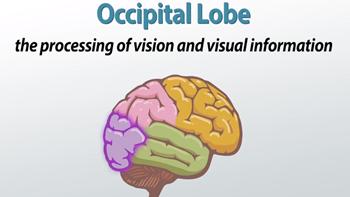 occipital lobe terms