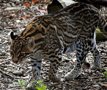 cat walking sideways