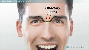 The Sense of Smell: Olfactory Bulb and the Nose - Video & Lesson