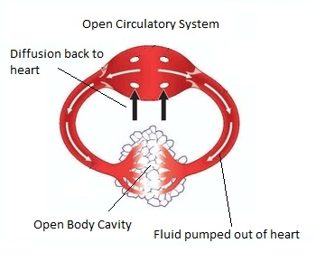 Animals with open circulatory systems study types of circulatory systems ccuart Gallery