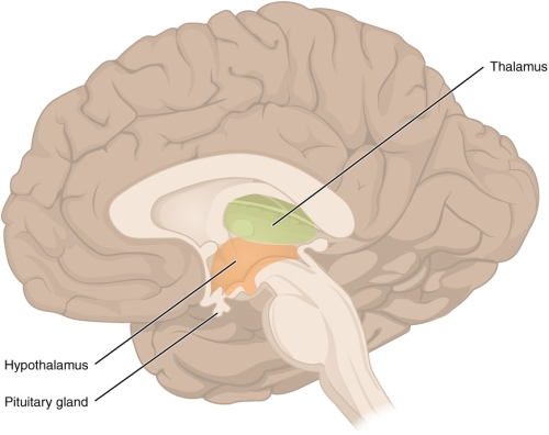 Thalamus Function And Location Function of The Thalamus And