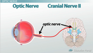 How receptors of the eye conduct information via the optic nerve optic nerve diagram ccuart Choice Image