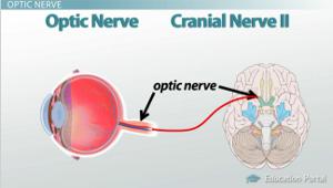 how receptors of the eye conduct information via the optic nerve  : optic nerve diagram - findchart.co