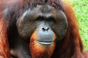 Image of: Wwf Bornean Orangutans Have Wide Faces And Orange Fur Studycom Why Is The Bornean Orangutan Endangered Studycom