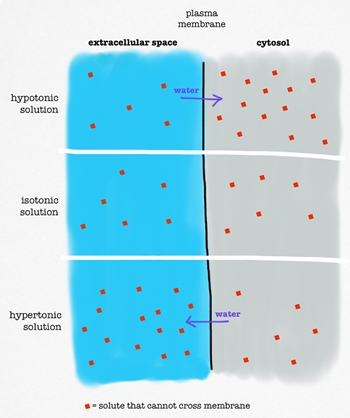 osmosis definition & ex&les video & lesson transcript study  : osmosis diagram - findchart.co