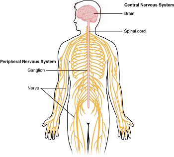Physiological processes of the nervous system study diagram of the central and peripheral nervous systems ccuart Image collections