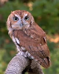 a screech owl - Owl Pictures For Kids