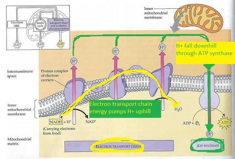 Oxidative Phosphorylation  Definition  Steps  U0026 Products