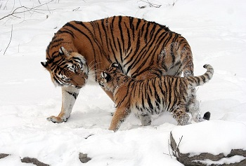 Mother and cub tiger