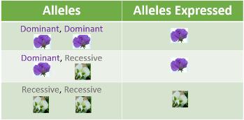 Dominant And Recessive Alleles Chart Dominant & Recessi...