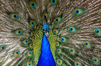 Peacocks display their impressive tail feathers to attract a mate.  This is an example of biosemiotics!