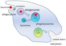 15929300 as well Protista likewise 3922348 besides Kingdom Protista also Amoeba. on amoeba engulfing paramecium