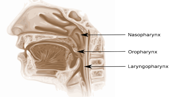pharynx: anatomy & definition - video & lesson transcript | study, Human Body