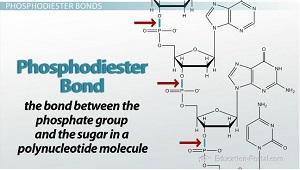 Phosphodiester Bond Diagram