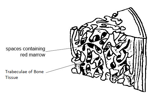 trabeculae of bone  definition  u0026 function video with lesson transcript