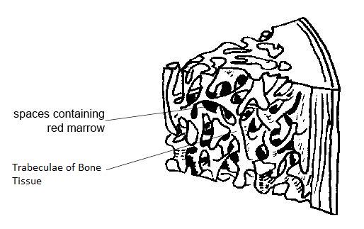 trabeculae of bone  definition  u0026 function