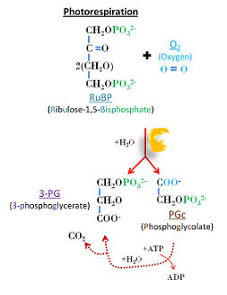Photorespiration uses O2 and releases CO2