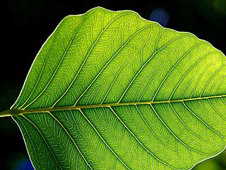 Leaves are green because they contain chlorophyll