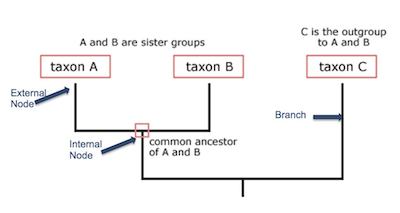how to make a phylogenetic tree