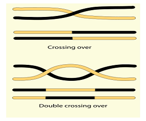 Drawing of Crossing Over