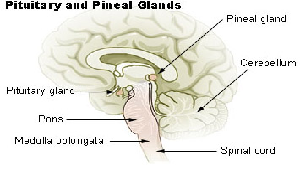 Diagram of pineal gland