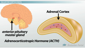 Pituitary Adrenal Cortex Diagram