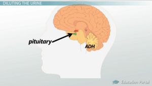 Pituitary Gland ADH Diagram