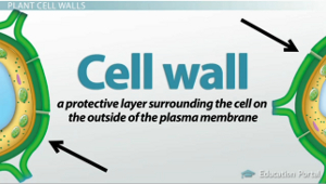 Plant cell structures the cell wall and central vacuole video plant cell wall ccuart Image collections