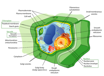 The difference between plant and animal cells video lesson plant cell and organelles ccuart Choice Image