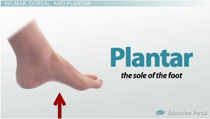 Anatomical Directional Terminology: Limbs, Hands & Feet - Video ...