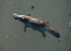 Platypus: Habitat & Adaptations | Study com