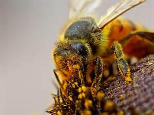 Honey bee dating