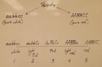 an example of polygenic inheritance