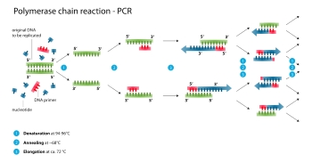 The steps of polymerase chain reaction.