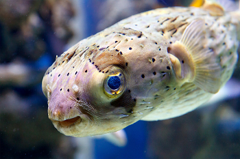 Porcupine Fish Facts For Kids