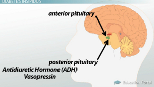 Posterior Pituitary ADH Diagram