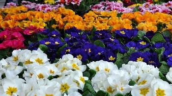 Primroses can be blue or other colors.