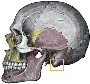 Temporal Bone Processes: Zygomatic, Mastoid & Styloid ...