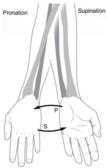 Pronator Teres Muscle Anatomy: Action, Insertion & Origin   Study.com