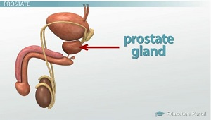 Prostate Gland Location