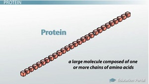 Protein Made of Chains